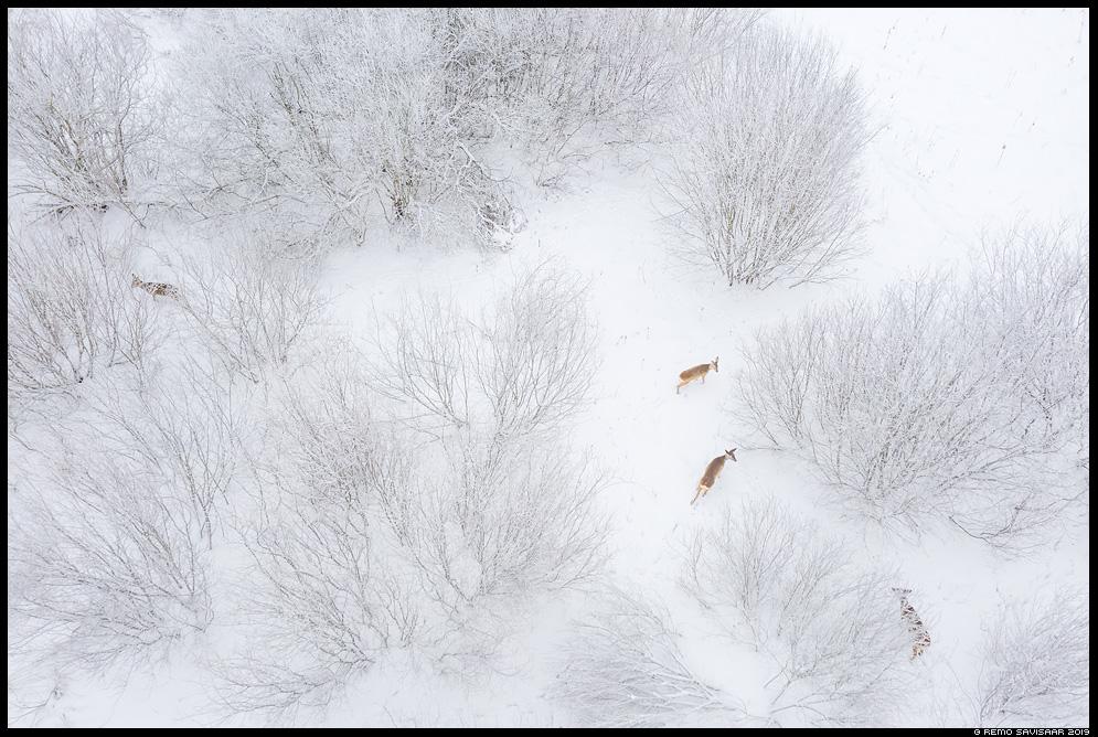 Metskits, Roe deer, Capreolus capreolus põõsad põõsastik võsa härmatis härmas lumine hoarfrost bushes Remo Savisaar Eesti loodus  Estonian Estonia Baltic nature wildlife photography photo blog loodusfotod loodusfoto looduspilt looduspildid