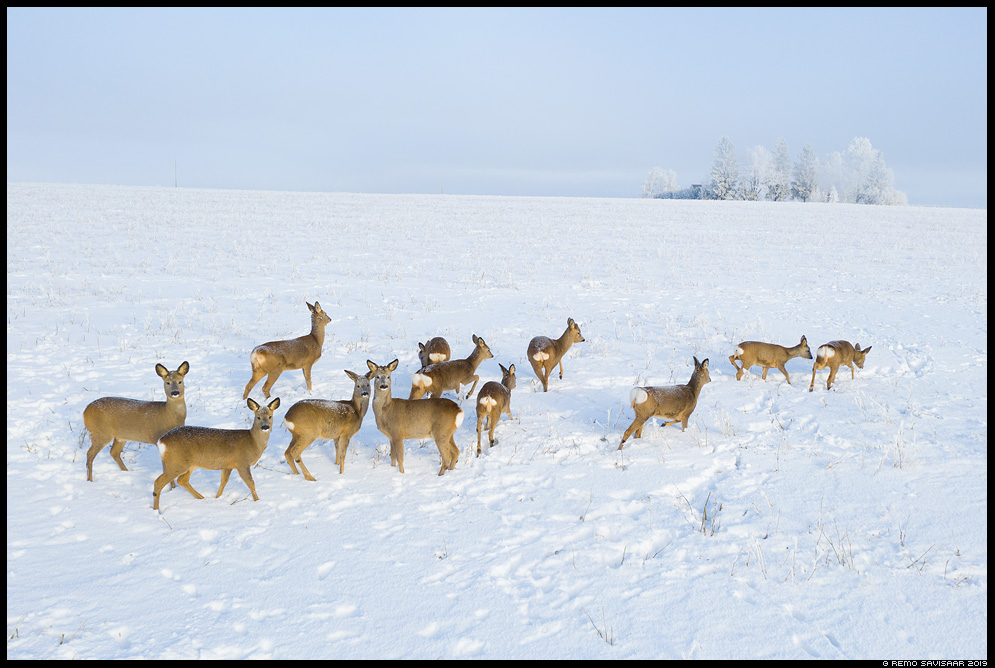 Metskits, Roe deer, Capreolus capreolus vooremaa talvine snowy toitumas feeding Remo Savisaar Eesti loodus  Estonian Estonia Baltic nature wildlife photography photo blog loodusfotod loodusfoto looduspilt looduspildid