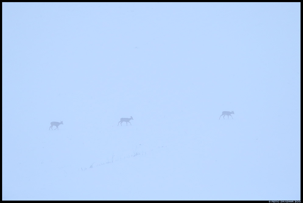 Metskits, Roe deer, Capreolus capreolus lumetuisk snowstorm Remo Savisaar Eesti loodus  Estonian Estonia Baltic nature wildlife photography photo blog loodusfotod loodusfoto looduspilt looduspildid