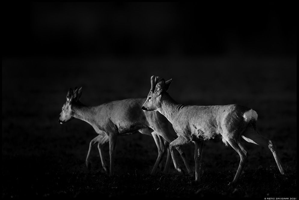 Metskits, Roe deer, Capreolus capreolus mustvalge bw Remo Savisaar Eesti loodus  Estonian Estonia Baltic nature wildlife photography photo blog loodusfotod loodusfoto looduspilt looduspildid