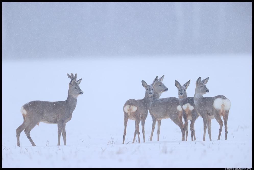 Metskits, Roe deer, Capreolus capreolus Remo Savisaar Eesti loodus  Estonian Estonia Baltic nature wildlife photography photo blog loodusfotod loodusfoto looduspilt looduspildid