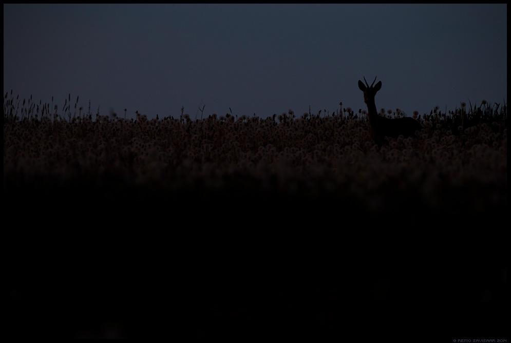 Sokuisand, Roe deer buck, Metskits, Roe deer, Capreolus capreolus öö night Remo Savisaar Eesti loodus  Estonian Estonia Baltic nature wildlife photography photo blog loodusfotod loodusfoto looduspilt looduspildid