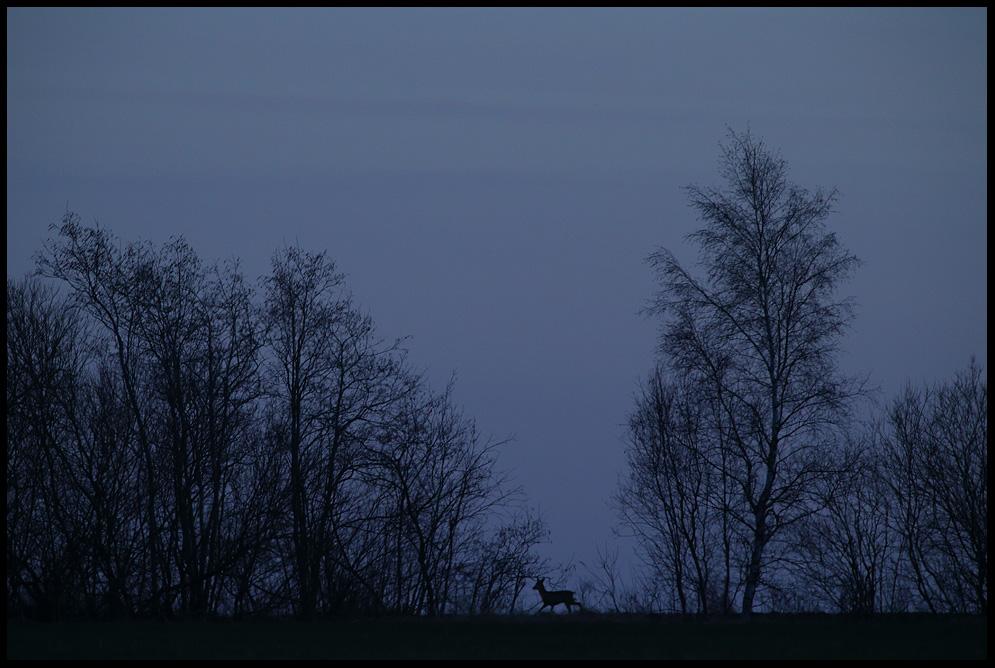 Metskits, Roe deer, Capreolus capreolus  öö õhtu hämar night dark gloomy Estonia, Europe Remo Savisaar Eesti loodus  Estonian Estonia Baltic nature wildlife photography photo blog loodusfotod loodusfoto looduspilt looduspildid