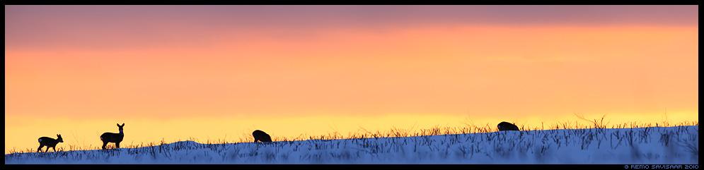 Metskits, Roe deer, Capreolus capreolus, talv, lumi, winter, snow, loojang, panoraam