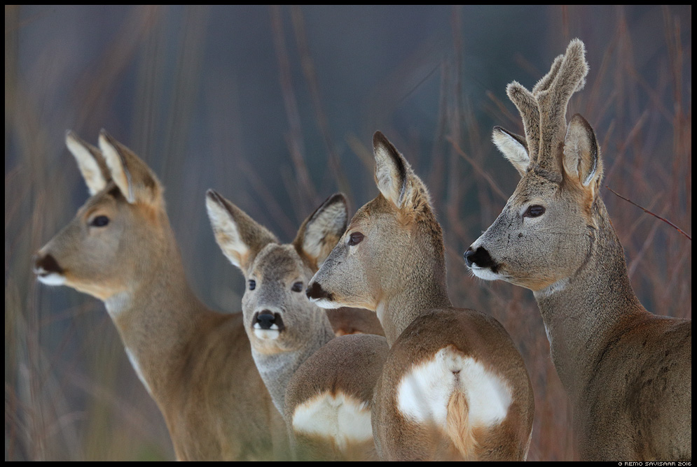 Metskits, Roe deer, Capreolus capreolus kari herd group Remo Savisaar Eesti loodus  Estonian Estonia Baltic nature wildlife photography photo blog loodusfotod loodusfoto looduspilt looduspildid