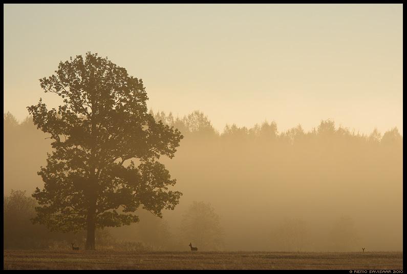 Metskits, Roe deer, Capreolus capreolus, sügis, sügishommik, autumn morning, tamm, tammepuu, udune, foggy