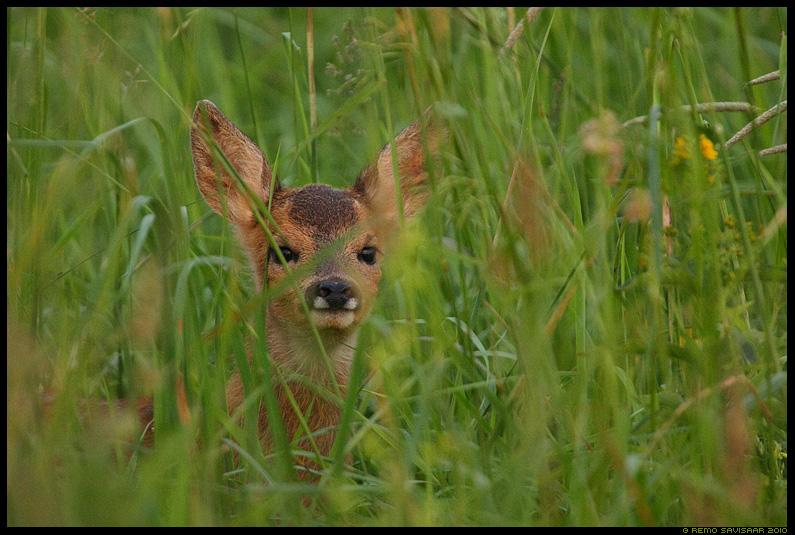 Metskitsetall, Roe deer fawn, Capreolus capreolus