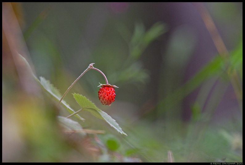 Metsmaasikas, Wild Strawberry, Fragaria vesca