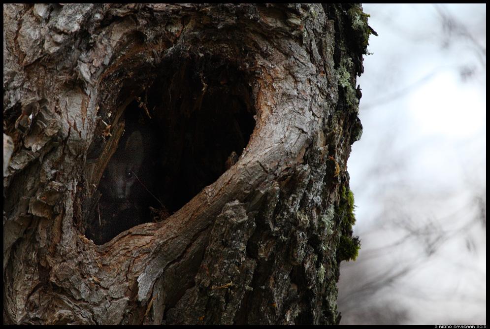 Metsnugis, Pine marten, Martes martes Remo Savisaar Eesti loodus Estonian Estonia Baltic nature wildlife photography photo blog loodusfotod loodusfoto looduspilt looduspildid