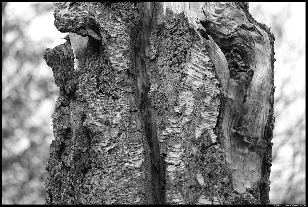 Metsnugis, Pine marten, Martes martes bw Remo Savisaar Eesti loodus Estonian Estonia Baltic nature wildlife photography photo blog loodusfotod loodusfoto looduspilt looduspildid