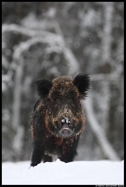 Metssiga, Wild boar, Sus scrofa