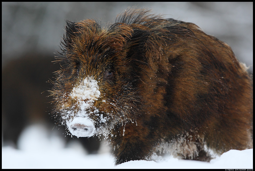 Metssiga, Wild boar, Sus scrofa  talv talvine winter  Remo Savisaar Eesti loodus  Estonian Estonia Baltic nature wildlife photography photo blog loodusfotod loodusfoto looduspilt looduspildid