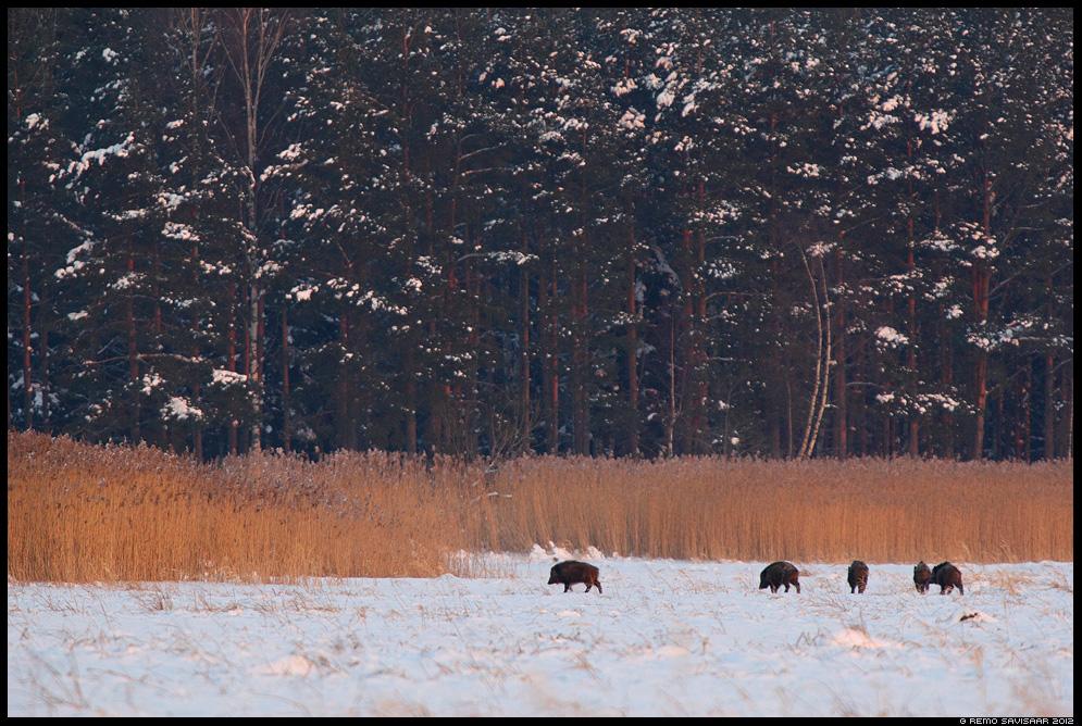 Metssiga, Wild boar, Sus scrofa, talv