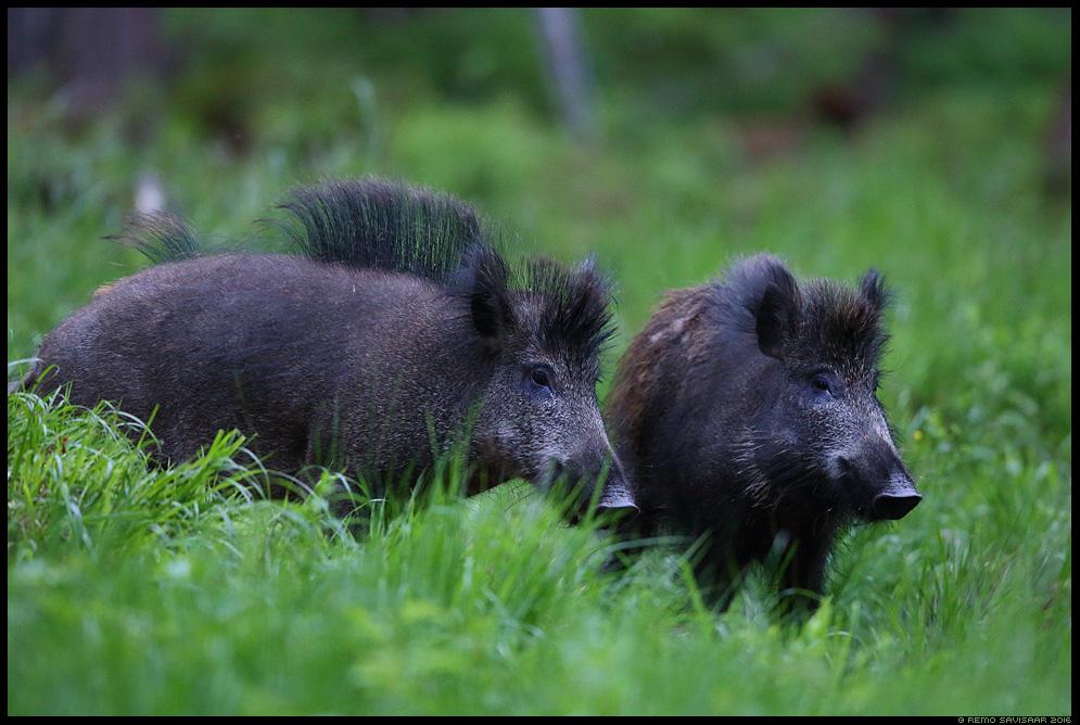 Metssiga, Wild boar, Sus scrofa  Remo Savisaar nature wildlife photography photo blog loodusfotod loodusfoto looduspilt looduspildid