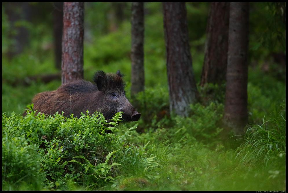 Metssiga, Wild boar, Sus scrofa Remo Savisaar Eesti loodus  Estonian Estonia Baltic nature wildlife photography photo blog loodusfotod loodusfoto looduspilt looduspildid