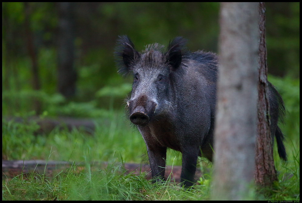Metssiga, Wild boar, Sus scrofa mets forest ida-virumaa alutaguse Remo Savisaar Eesti loodus  Estonian Estonia Baltic nature wildlife photography photo blog loodusfotod loodusfoto looduspilt looduspildid