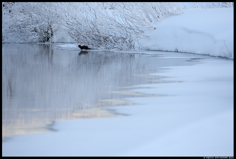 Ameerika naarits, Mink, Mustela vison, vesi, jõgi