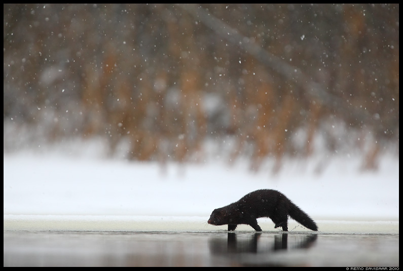 Ameerika naarits e. Mink, Mustela vison, lumi, snow, lumesadu, snowfall
