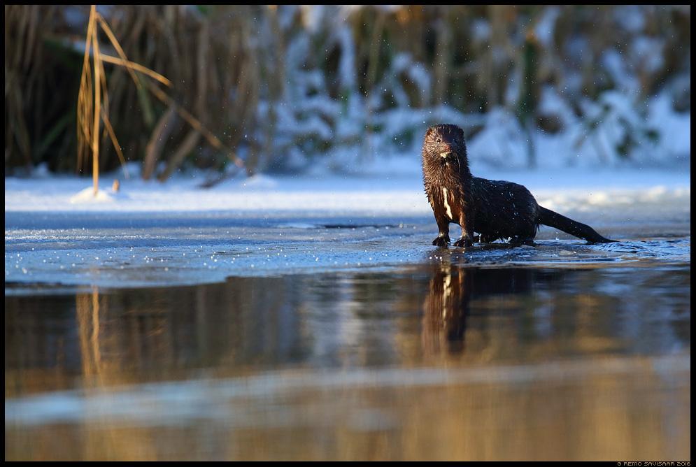Ameerika naarits, Mink, Mustela vison  Remo Savisaar Eesti loodus  Estonian Estonia Baltic nature wildlife photography photo blog loodusfotod loodusfoto looduspilt looduspildid