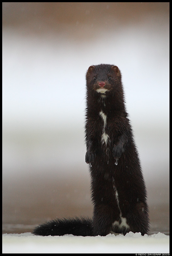 Ameerika naarits, Mink, Mustela vison talv talvine Remo Savisaar Eesti loodus  Estonian Estonia Baltic nature wildlife photography photo blog loodusfotod loodusfoto looduspilt looduspildid
