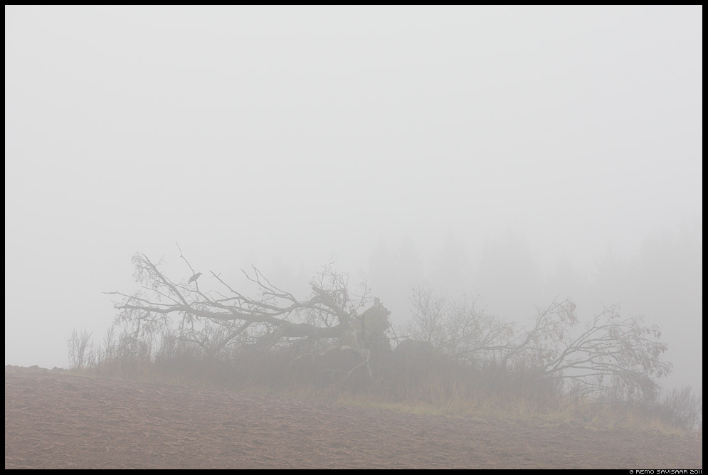 Langenud, Fallen, puu, tree, murtud, langenud, fallen tree, Ronk, Raven, Corvus corax, bird, lind, Udune november, Foggy november, sügis, autumn, fall, udu, udune, pehme, foggy, misty, fog, mist
