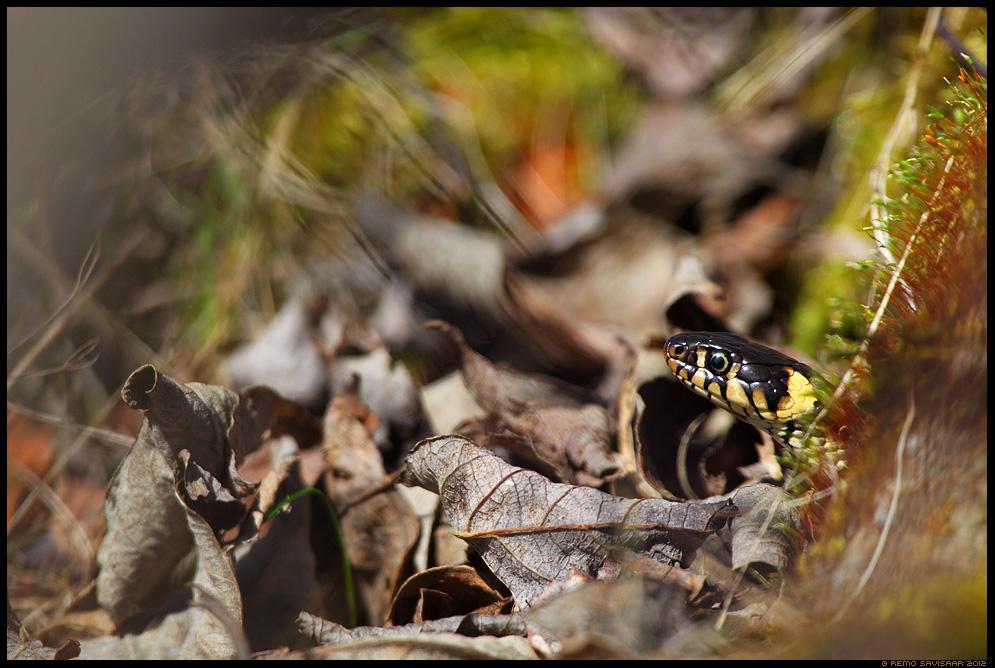 Nastik, Grass Snake, Natrix natrix, kevad, spring, päikesevann