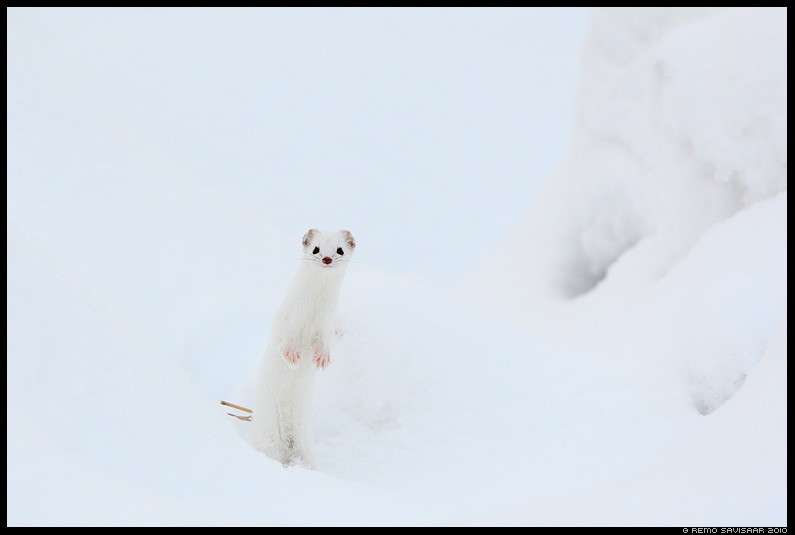 Nirk, Least weasel, Mustela nivalis, lumi, talv, detsember, snow, winter