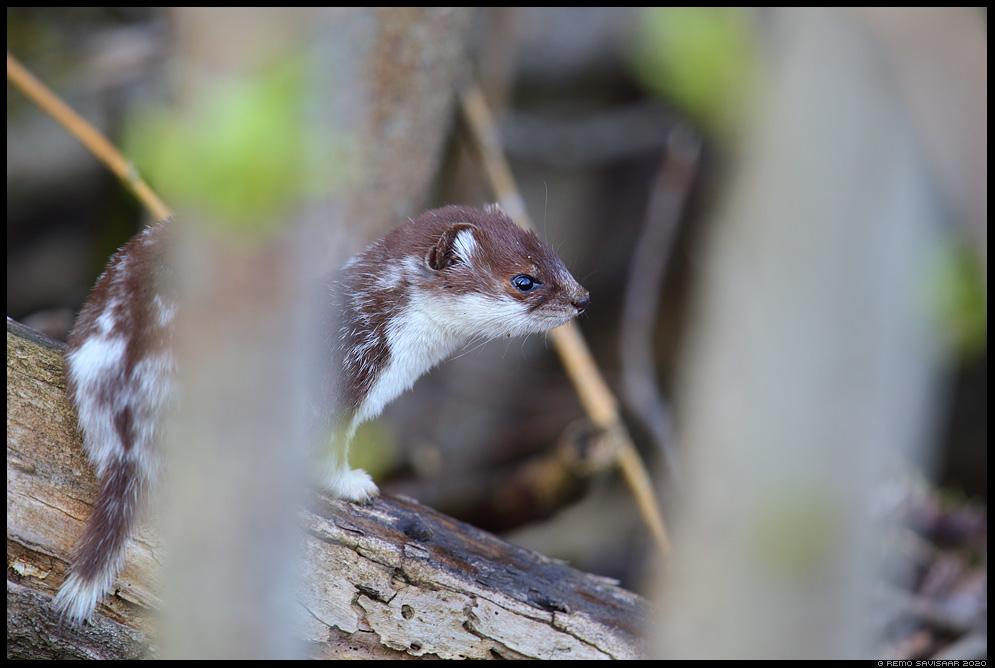 Nirk, Least weasel, Mustela nivalis  Remo Savisaar Eesti loodus  Estonian Estonia Baltic nature wildlife photography photo blog loodusfotod loodusfoto looduspilt looduspildid