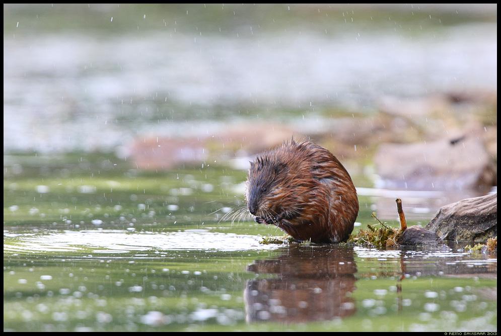 Ondatra, Muskrat, Ondatra zibethicus Baikal, Siberia, Russia Remo Savisaar nature wildlife photography photo blog loodusfotod loodusfoto looduspilt looduspildid