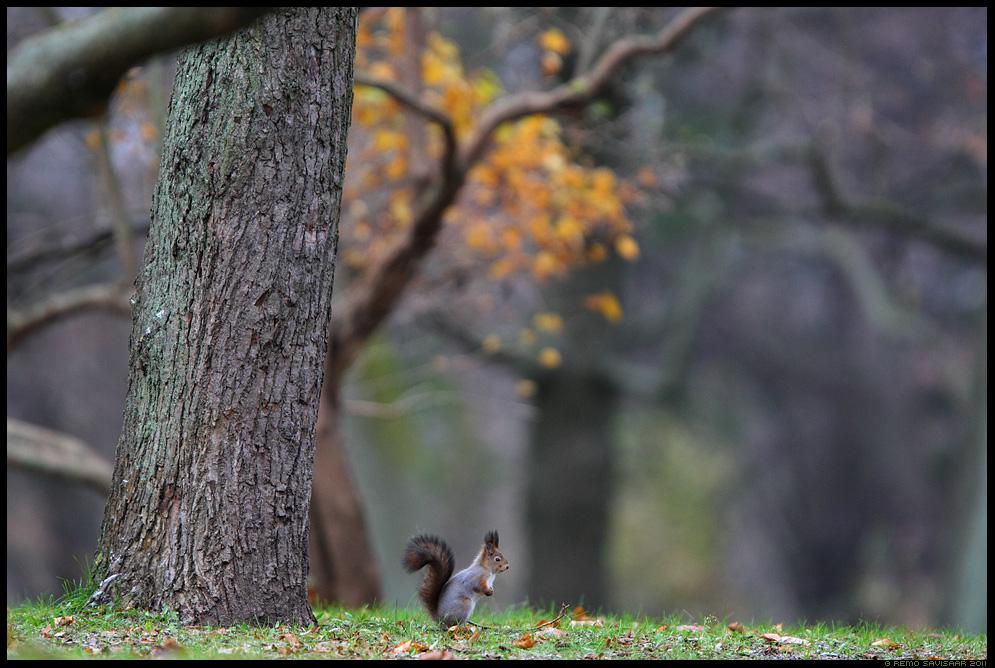 Orav, Red squirrel, Sciurus vulgaris, sügis, autumn, fall, keskkond, habitat
