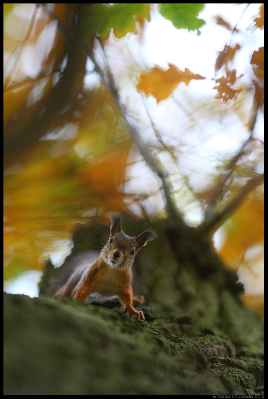 Orav, Red squirrel, Sciurus vulgaris sügis autumn tamm oak Remo Savisaar Eesti loodus Estonian Estonia Baltic nature wildlife photography photo blog loodusfotod loodusfoto looduspilt looduspildid
