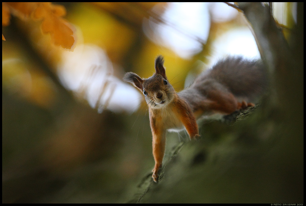 Orav, Red squirrel, Sciurus vulgaris sügis autumn Remo Savisaar Eesti loodus Estonian Estonia Baltic nature wildlife photography photo blog loodusfotod loodusfoto looduspilt looduspildid