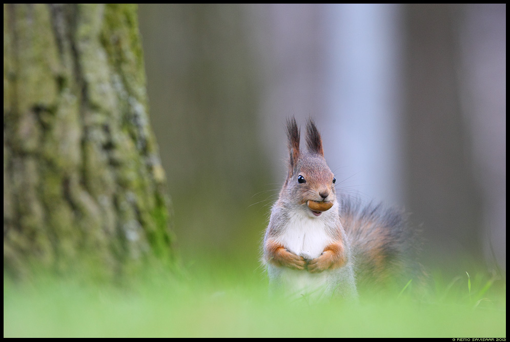 Orav, Red squirrel, Sciurus vulgaris sügis autumn tamm tammetõru oak acorn Remo Savisaar Eesti loodus Estonian Estonia Baltic nature wildlife photography photo blog loodusfotod loodusfoto looduspilt looduspildid