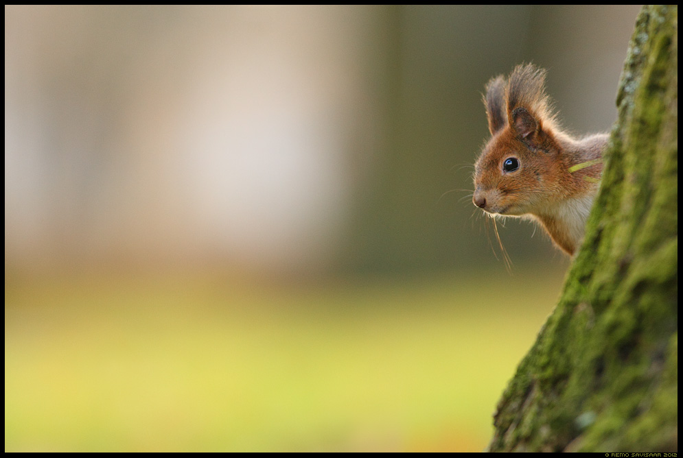 Orav, Red squirrel, Sciurus vulgaris sügis autumn Remo Savisaar Eesti loodus Estonian Estonia Baltic nature wildlife photography photo blog loodusfotod loodusfoto looduspilt looduspildid