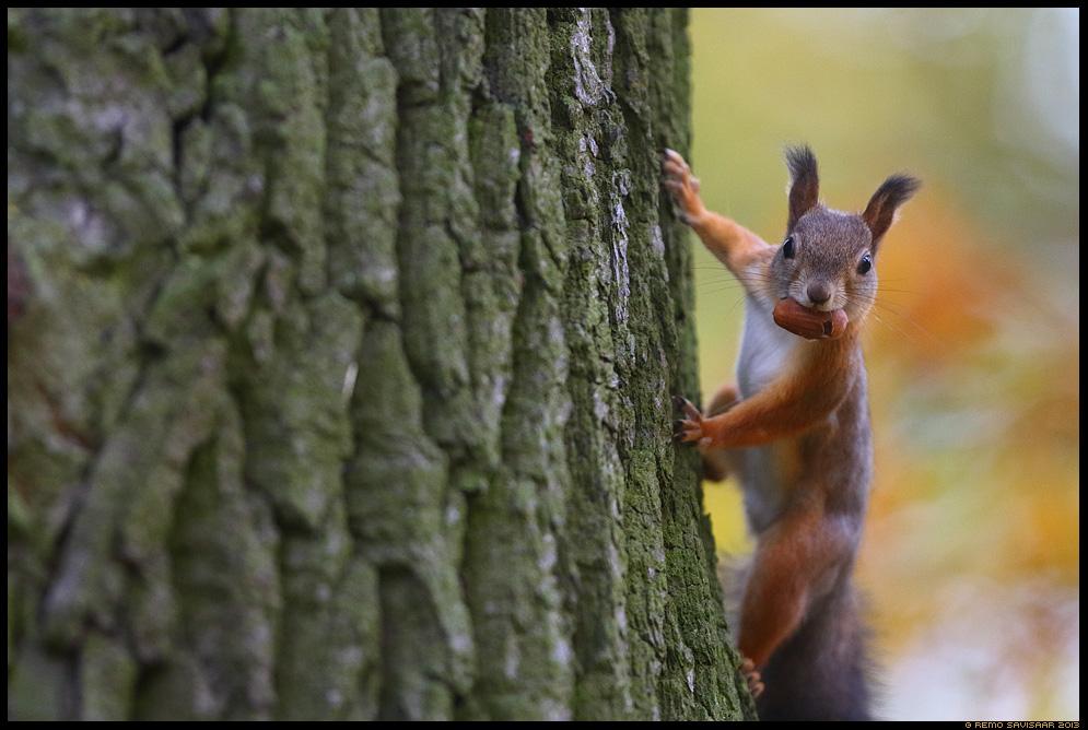 Orav, Red squirrel, Sciurus vulgaris tammetõru oak acorn Remo Savisaar Eesti loodus  Estonian Estonia Baltic nature wildlife photography photo blog loodusfotod loodusfoto looduspilt looduspildid