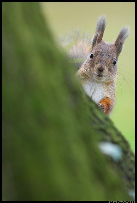 Orav, Red squirrel, Sciurus vulgaris Remo Savisaar Eesti loodus Estonian Estonia Baltic nature wildlife photography photo blog loodusfotod loodusfoto looduspilt looduspildid
