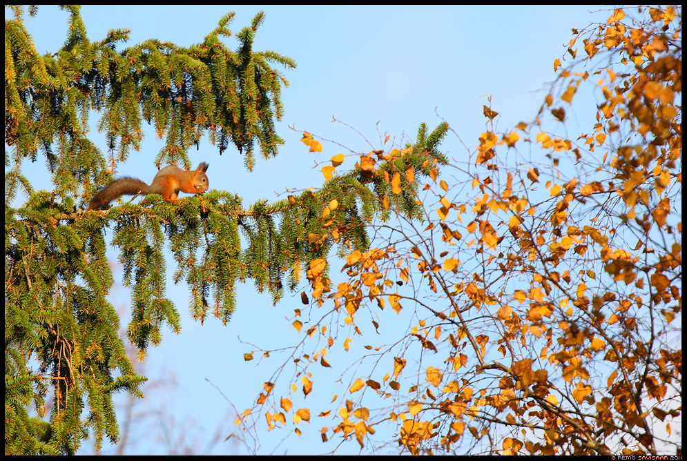 Orav, Red squirrel, Sciurus vulgaris, sügis, autumn, fall