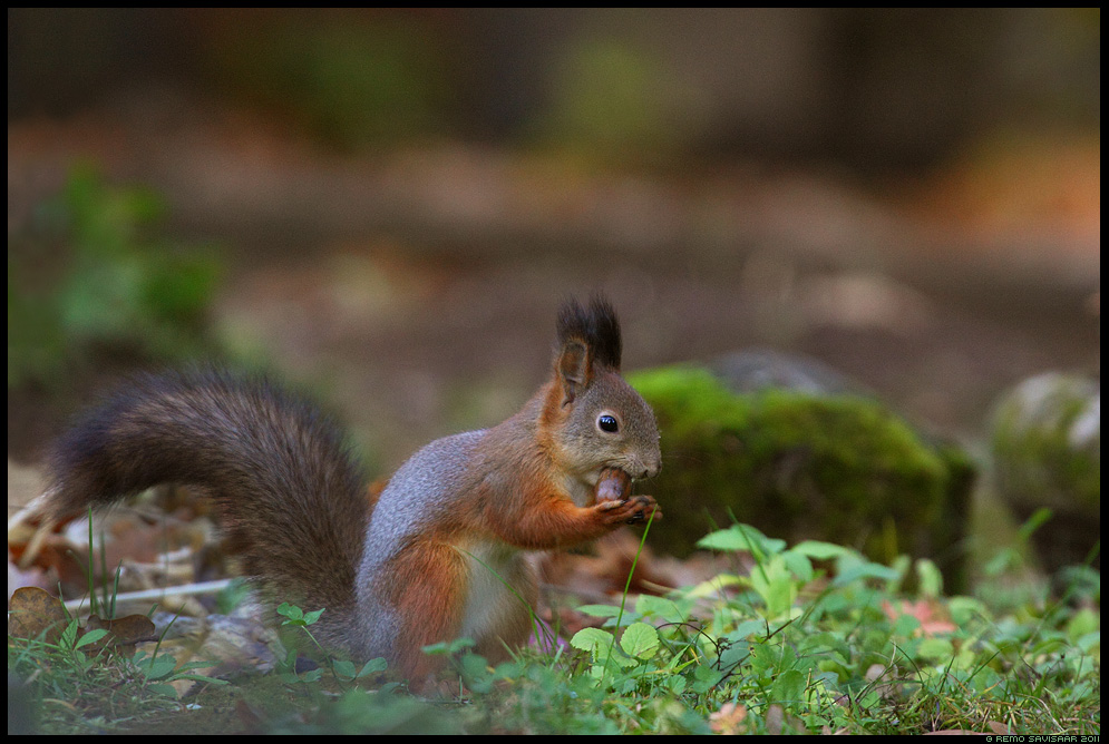 Orav, Red squirrel, Sciurus vulgaris, sügis, autumn, fall, tammetõru, tõru
