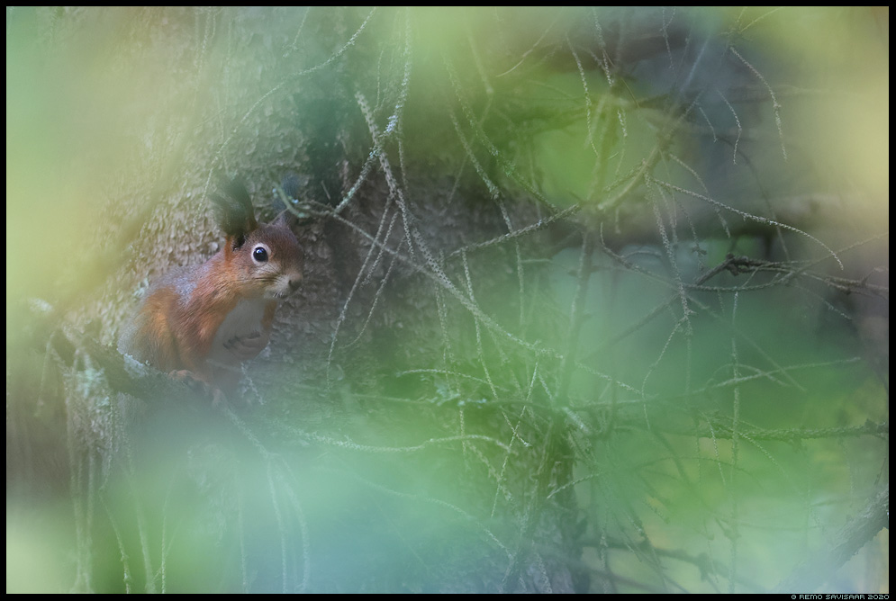 Orav, Red squirrel, Sciurus vulgaris  Remo Savisaar Eesti loodus  Estonian Estonia Baltic nature wildlife photography photo blog loodusfotod loodusfoto looduspilt looduspildid