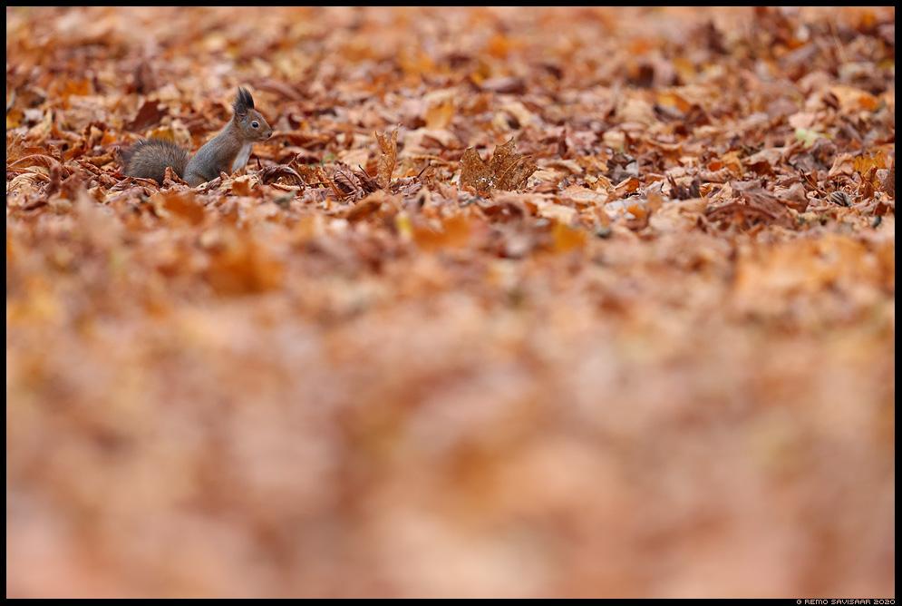 Orav, Red squirrel, Sciurus vulgaris minimalism minimalistic Remo Savisaar Eesti loodus  Estonian Estonia Baltic nature wildlife photography photo blog loodusfotod loodusfoto looduspilt looduspildid