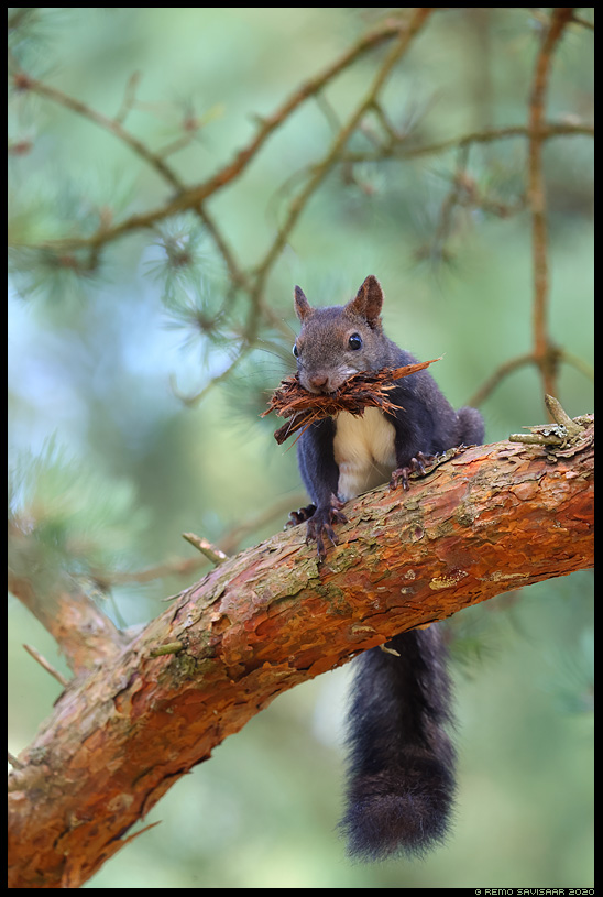 Must Orav, Red squirrel, Sciurus vulgaris black squirrel Remo Savisaar Eesti loodus  Estonian Estonia Baltic nature wildlife photography photo blog loodusfotod loodusfoto looduspilt looduspildid
