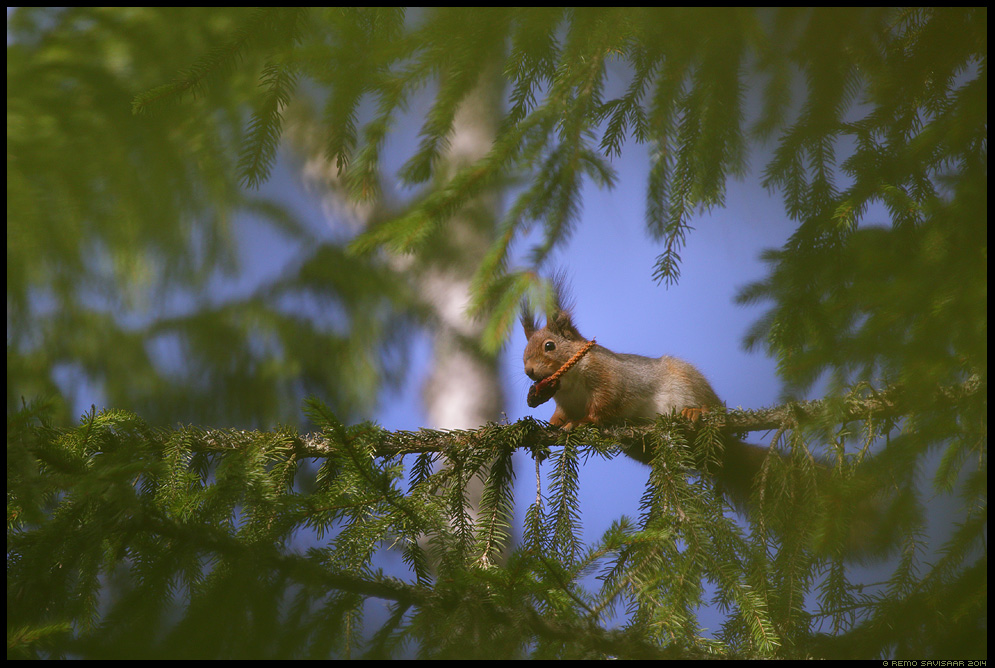 Orav, Red squirrel, Sciurus vulgaris käbi kuusk fir kuusik Remo Savisaar Eesti loodus Estonian Estonia Baltic nature wildlife photography photo blog loodusfotod loodusfoto looduspilt looduspildid