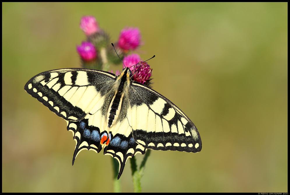 Pääsusaba, Swallowtail butterfly, Papilio machaon Remo Savisaar Eesti loodus  Estonian Estonia Baltic nature wildlife photography photo blog loodusfotod loodusfoto looduspilt looduspildid