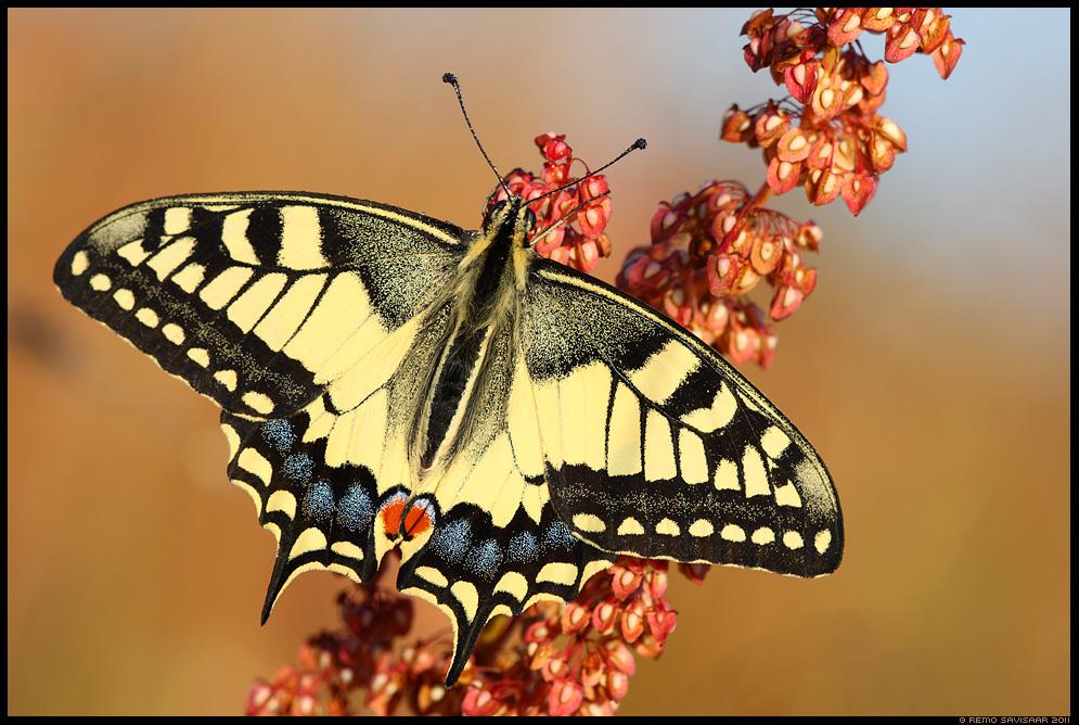 Pääsusaba, Swallowtail butterfly, Papilio machaon, liblikas