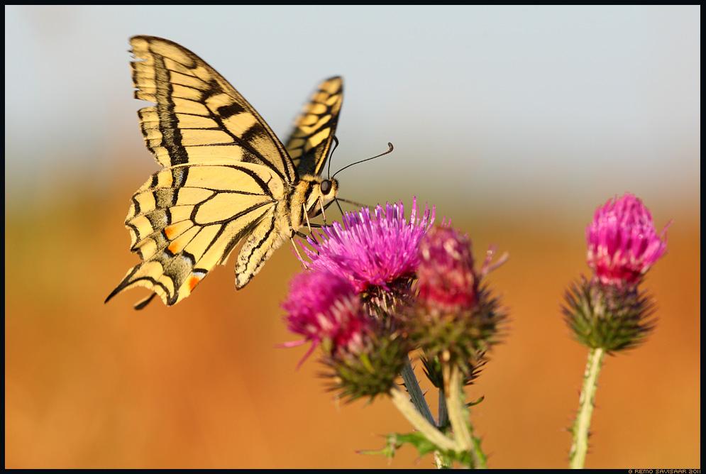 Pääsusaba, Swallowtail butterfly, Papilio machaon, liblikas, ohakas