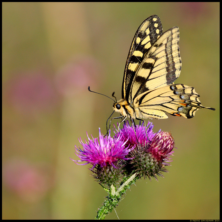 Pääsusaba, Swallowtail butterfly, Papilio machaon, liblikas