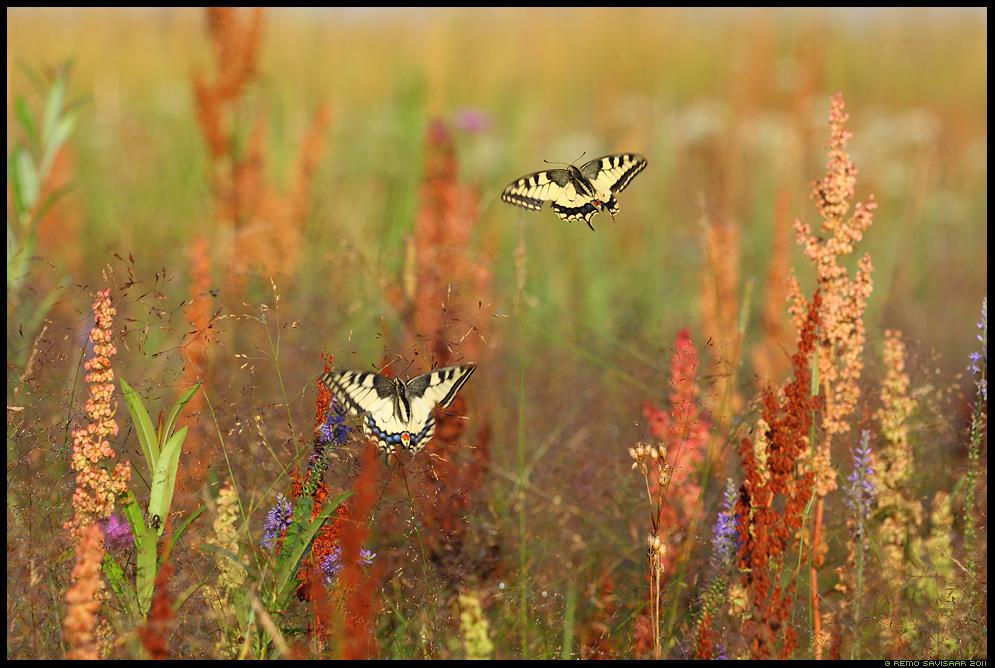 Suveaeg, Summertime, Pääsusaba, Swallowtail butterfly, Papilio machaon, liblikas, liblikad