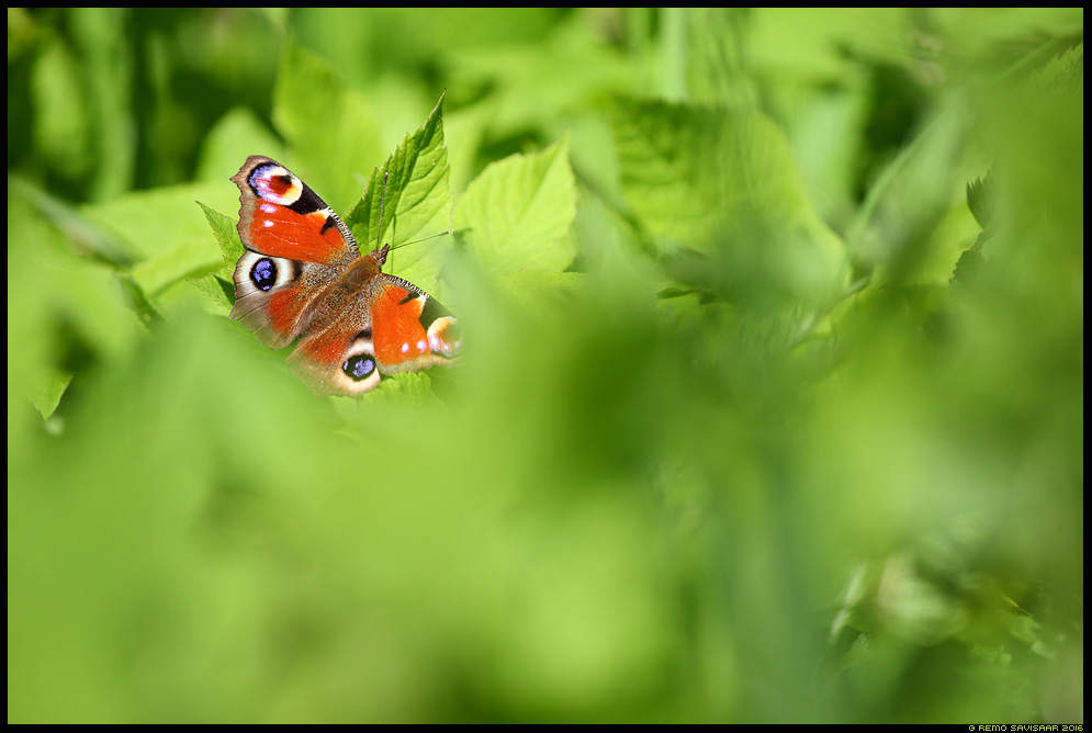 Päevapaabusilm, European peacock, Inachis io liblikas butterfly Remo Savisaar Eesti loodus Estonian Estonia Baltic nature wildlife photography photo blog loodusfotod loodusfoto looduspilt looduspildid