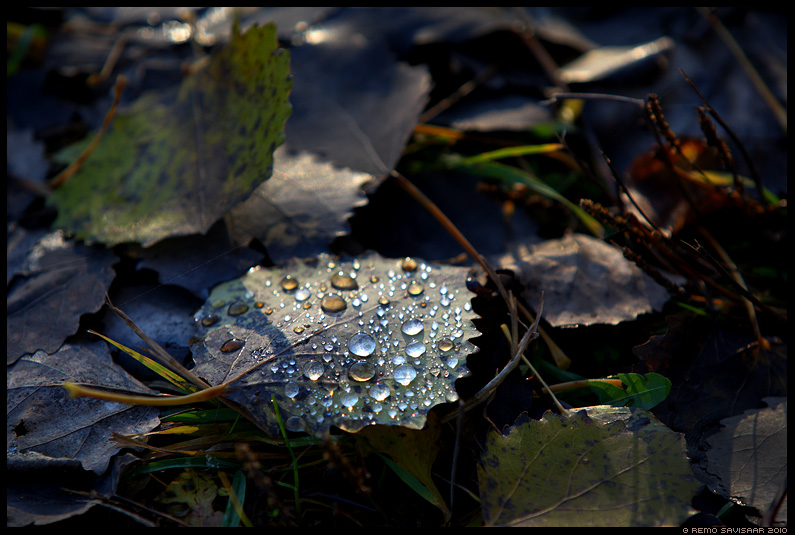 pärlites leht, leaf, pearls, sügis, autumn