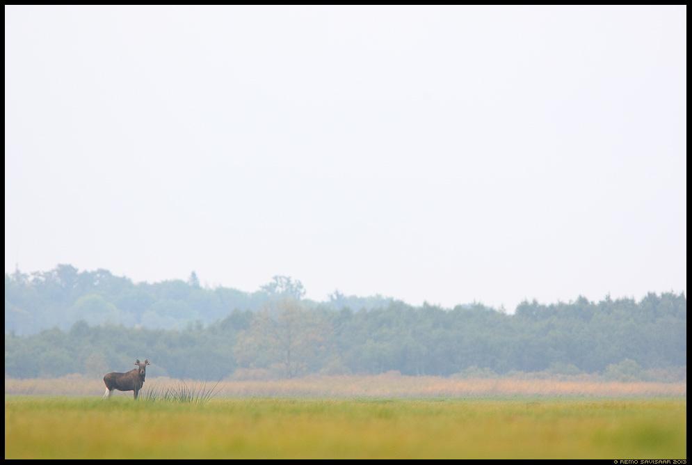 Põder, Moose, Elk, Alces alces luht flooded meadow avarus minimalism Remo Savisaar Eesti loodus  Estonian Estonia Baltic nature wildlife photography photo blog loodusfotod loodusfoto looduspilt looduspildid pildipüüdjad